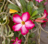Desert Rose Flower — ストック写真