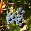 Wine grapes on a vine — Stock Photo