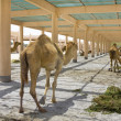 Camel farm — Stock Photo