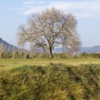 Stock Photo: Old oak in the field