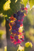 Colorful wine grapes on a branch — Stock Photo