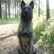 Belgian shepherd dog, Malinois — Stock Photo