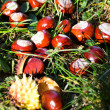 Chestnuts in grass — Stock Photo