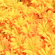 Yellow Chrysanthemum flowers background — Stok fotoğraf