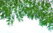 Verde folhas isoladas — Fotografia Stock