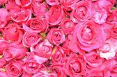 Pink rose background — Stock Photo