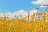 Rice field in blue sky — Stock Photo