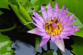 Bees in tropical gardens with pink lotus flower — Stock Photo