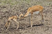 Whitetail doe take care of its fawn — Stock Photo