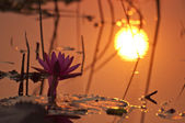 Pink lotus with sunrise — Stock Photo