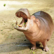 Feed hippopotamus — Stock Photo