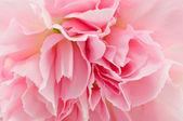 ピンクのカーネーションを白で隔離されます。 — ストック写真