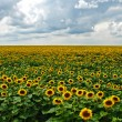 Sunflowers in bloom — Stock Photo