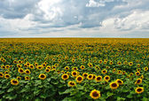 Sunflowers in bloom — Stok fotoğraf