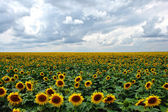 Sunflowers under cloudy sky — Stock Photo