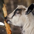 Goat eats bark of a tree — Stock Photo