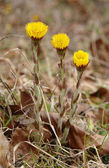 Coltsfoot Tussilago Farfara — Stock Photo