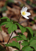 Wood anemone Anemone nemorosa — Stock Photo