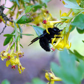 Carpenter bee xylocopa in the nature — Стоковое фото
