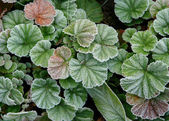 Текстуры листья покрыты Фрост — Стоковое фото