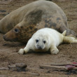Female Grey Seal with Pup — Stock Photo