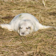 Grey seal pup in the grass. — Stock Photo