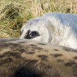 Grey seal pup peeping over it's mother — Stock Photo