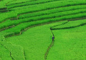 Terraced rice fields - a woman visit her rice field in Mu Cang Chai, Yen Bai, Vietnam. — Stock Photo