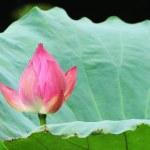 Постер, плакат: Lotus flowers