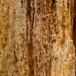 Tree eaten by woodworm — Stock Photo