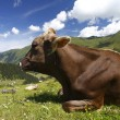Cow mountains — Stock Photo