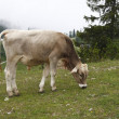 Austria cow eating the grass — Stock Photo