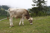 Austria cow eating the grass — Foto Stock