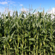 Corn plantation — Stock Photo