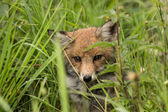 мало лисы — Стоковое фото