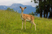 Young fallow-deer — Stock Photo