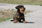 Coarse haired dachshund — Stock Photo