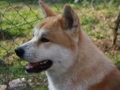 Akita inu — Foto Stock
