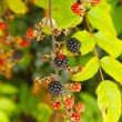 Blackberries — Stock Photo #27527943
