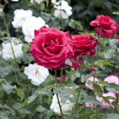 Sola hermosa rosa roja — Foto de Stock