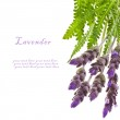 Fresh leaves and flowers of lavender isolated on white background — Stock Photo
