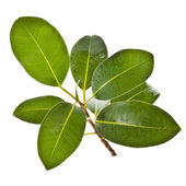 Ficus branch — Stock Photo