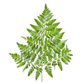 Big green leaf of fern, isolated on white background — Stock Photo