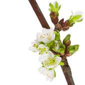 Spring van witte bloemen — Stockfoto