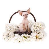白い背景の上の小さな子猫と春の花 — ストック写真