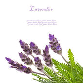 Fresh leaves and flowers of lavender, isolated on white background — Stock Photo