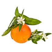 Orange tree flowers on a orange fruit — Stock Photo