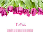 Purple tulips isolated on a white background with sample text — Stock Photo