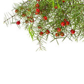 Green branches and red berries isolated on white background — Stock Photo