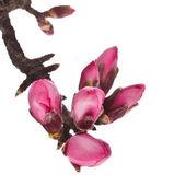 Różowe kwiaty migdałów — Zdjęcie stockowe